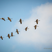 Sandhill Cranes fly in formation over rural Nebraska fields