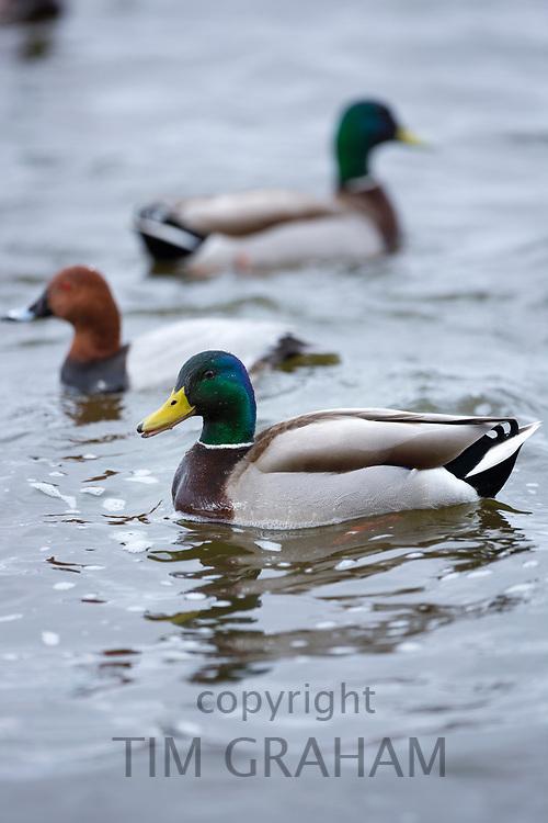 Ducks - Mallard, Anas platyrhynchos and Common Pochard, Aythya ferina at Welney Wetland Centre, Norfolk, UK
