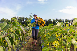 A woman harvests sunflowers at Barker's Farm in Stratham, New Hampshire.
