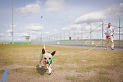 Chico working on a long lead with his handler in the exercise yard at Coyote Ridge Corrections Center.  Pet photos by Michael Kloth.