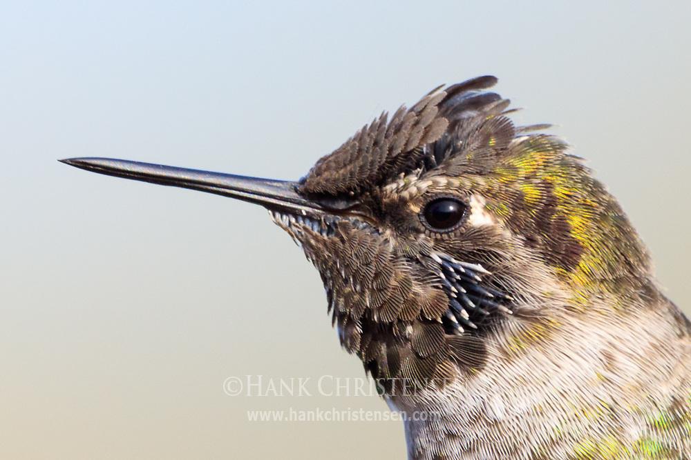 Headshot portrait of an anna's hummingbird, Belmont, CA