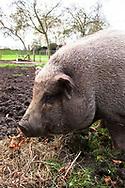 Europa, Niederlande, Zeeland, Haengebauchschwein auf einem Bauernhof.<br /> <br /> Europe, Netherlands, Zeeland, pot-bellied pig on a farm.