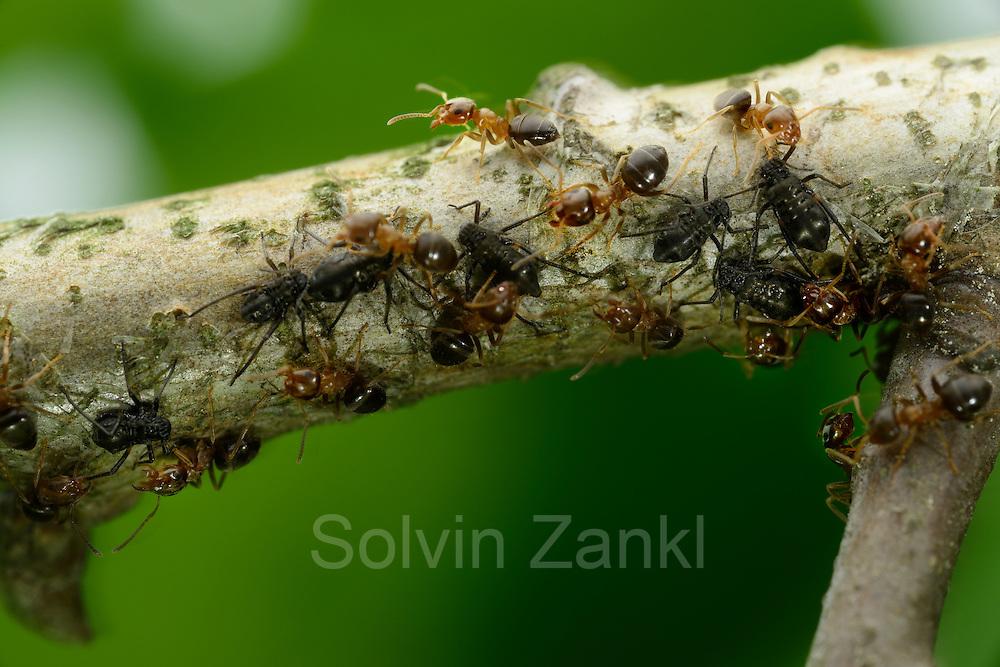 Die Ameisen (Lasius brunneus) umsorgen und verteidigen die Blattläuse gegen Freßfeinde und profitieren später von deren süßen Blattsaft-Ausscheidungen.