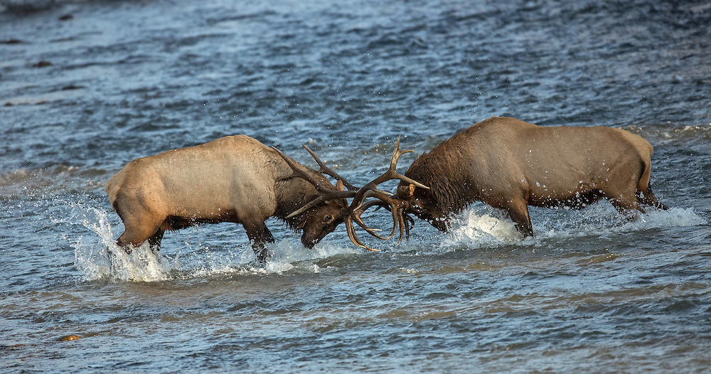 During the rut, bull elk often battle to determine which bull will have the right to breed.  In most cases, the smaller bull retreats before a battle can even get started, but when the bulls are evenly matched, they may spar until the lesser bull retreats.