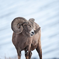 trophy bighorn ram,  rocky mountains, winter feeding wild rocky mountain big horn sheep