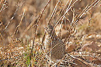 Ruffed Grouse feeds in the Rocky Mountains looking for seeds and insects.