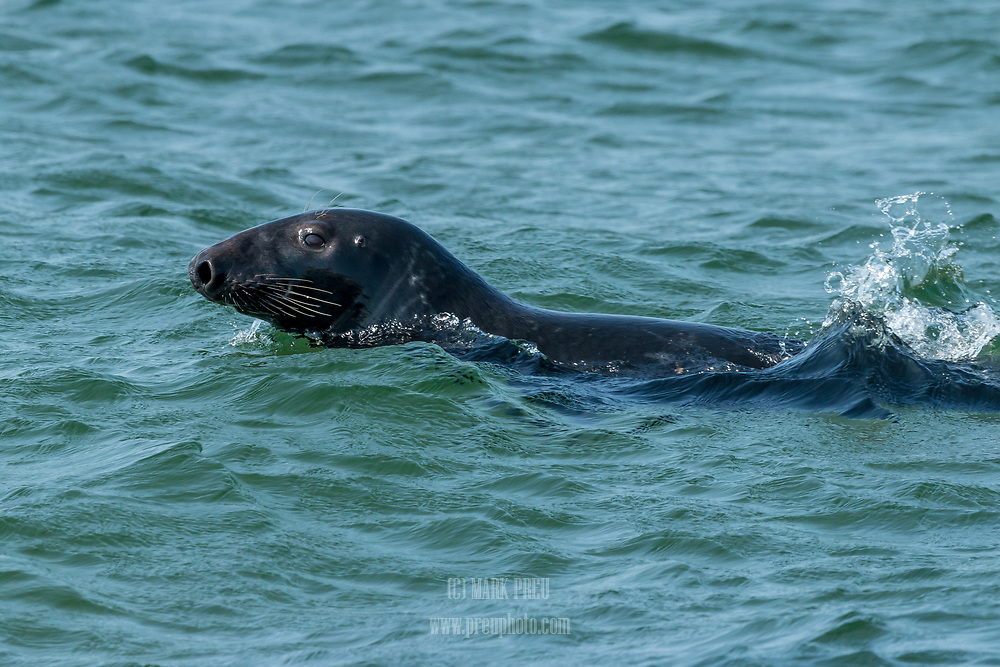 A gray seal swimming near shore at Provincetown's Race Point Beach.