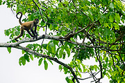 Juvenile Geoffroy's spider monkey (Ateles geoffroyi) in a treetop. Also known as the black-handed spider monkey, is a species of spider monkey, a type of New World monkey, from Central America. Photographed in Costa Rica
