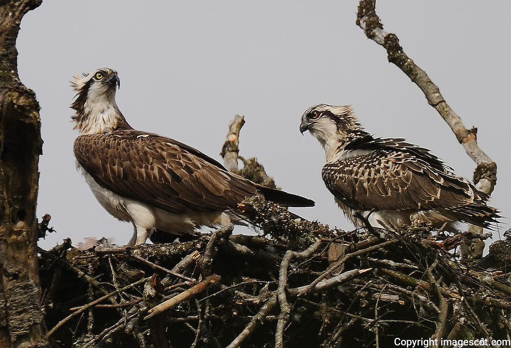 Female osprey and chick at nest, 6-7 weeks old