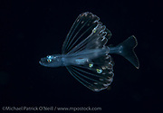 A Tripod Fish juvenile, Bathypterois sp., drifts in the Gulf Stream far offshore the Florida, Palm Beach coastline late at night. This bizarre fish can be found living in extreme depths exceeding 15,000 ft.