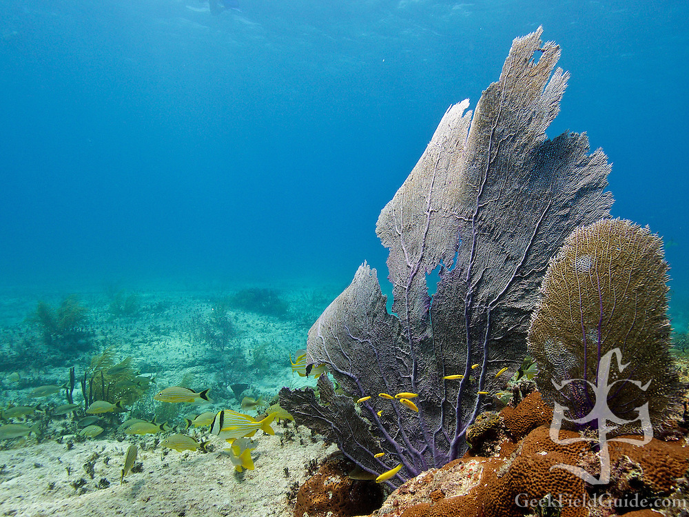 Purple sea fan (Gorgonia ventalina)