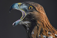 Portrait of a Golden Eagle bird, Aquila chrysaetos, adult male, calling, Kalvtrask, Vasterbotten, Sweden