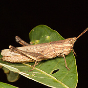 Short-horned grasshopper - Phlaeoba infumata