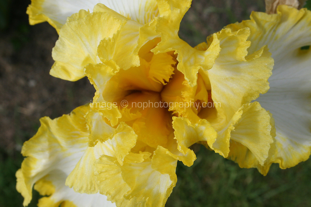 Yellow and white Iris, Iridaceae