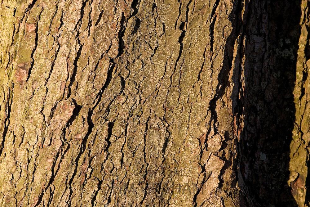 Horse-chestnut tree bark, Oxfordshire, United Kingdom