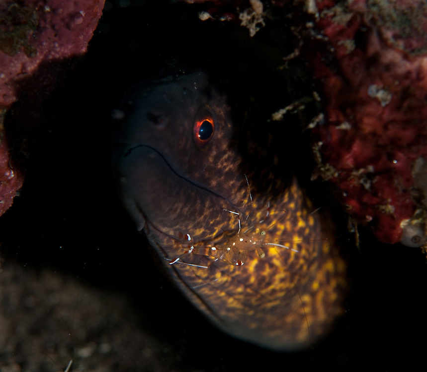 A shrimp sits on the mouth of a moray eel. In the Philippines, muck divers head straight to Dauin to begin the hunt. It is considered one of the premier muck diving locations on the planet. On a bad day at Dauin, you can spot more rare animals than a decade out on the reef...