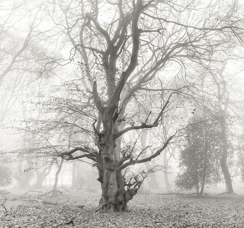 Old beech forest in the Ashridge Estate photographed in an early monrning mist