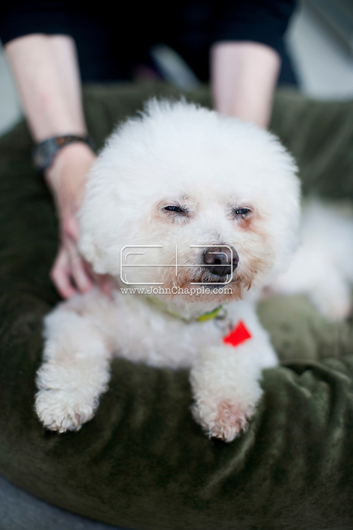 September 28th, 2011. Los Angeles, California. Canine rehab facility Two Hands Four Paws offers treatments like acupuncture, massage, and swim therapy for dogs. Pictured is Pooh the Poodle Bichon having a relaxing massage..PHOTO © JOHN CHAPPLE / www.johnchapple.com