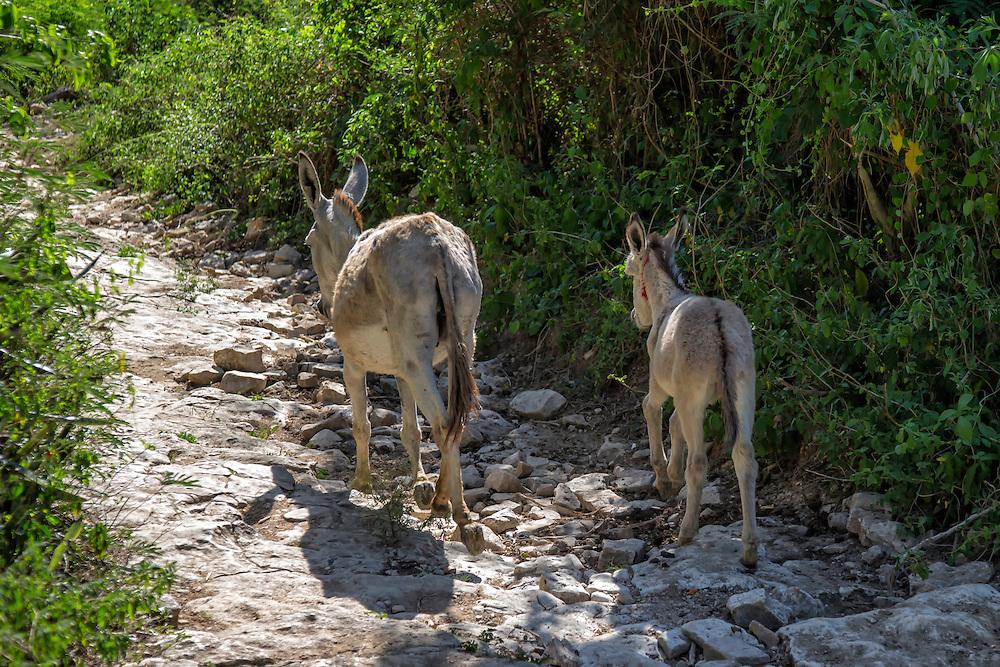 Donkeys near Charco Redondo, Granma, Cuba.