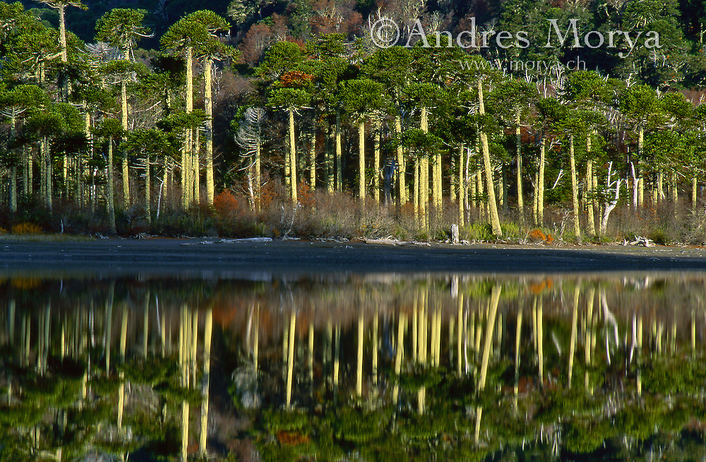 Araucarian Pine Forest or Monkey Puzzle Forest, La Araucanía, Chile Image by Andres Morya
