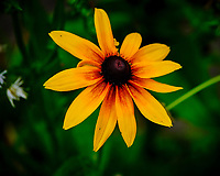Black-eyed Susan. Image taken with a Fuji X-T3 camera and 80 mm f/2.8 macro lens