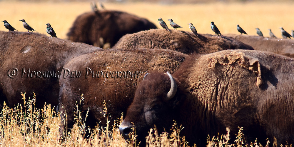 Panoramic photo of a bison herd with cattle birds lined up on their backs. Yellowstone National Park