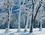 Black Oaks in winter, El Capitan Meadow, Yosemite National Park, California