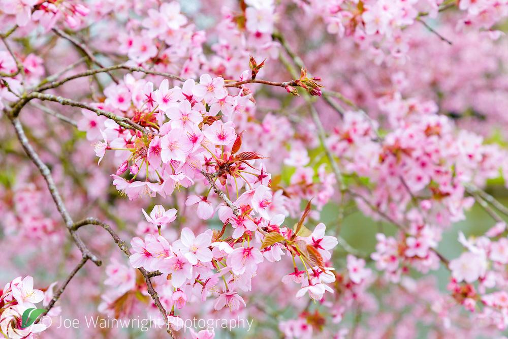 Cherry blossom and emerging spring foliage.