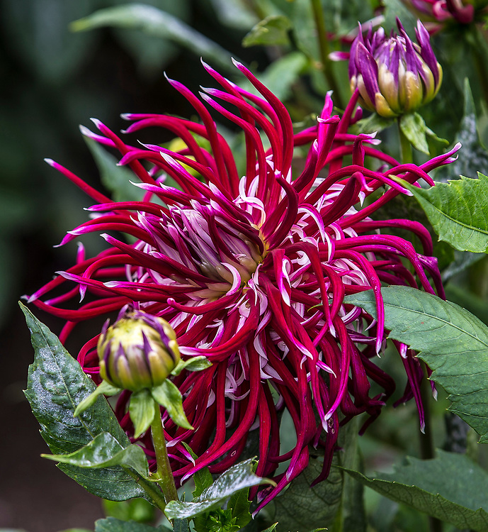 Aug 23 - 2014  San Francisco, ca Golden Gate Park Dahlias Garden, hollyhill spiderwoman