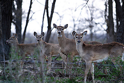 09 April 2005<br /> <br /> Whitetail deer<br /> <br /> Comlara Park, McLean County, Il (Photo by Alan Look)