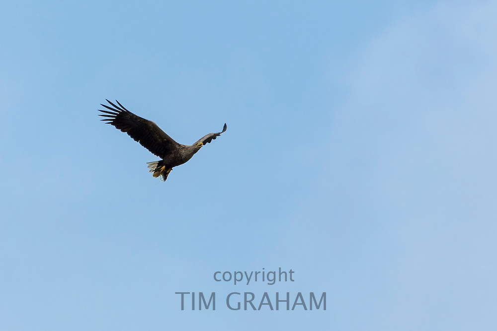 White-tailed sea eagle, Haliaeetus albicilla, in flight with wings outstretched soaring high in the sky above Loch Na Keal on Isle of Mull in the Inner Hebrides and Western Isles, Scotland