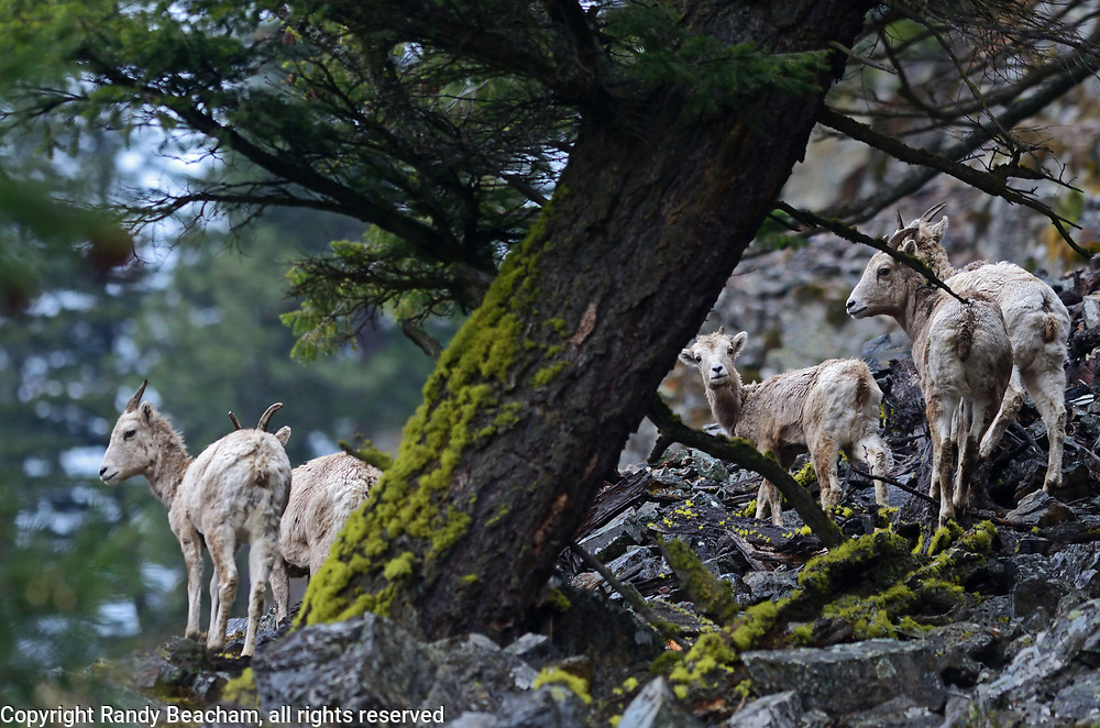 Bighorn sheep under an old Douglas Fir tree in the Purcell Mountains. Kootenai River Valley near Libby, northwest Montana.