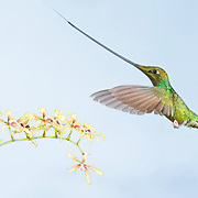 Sword-billed Hummingbird and orchids