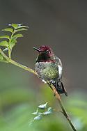 Anna's Hummingbird (Calypte anna) perched on a rose bush (California)