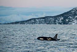 Orcas (Orcinus orca) in Tyssfjord, Nordland, Norway