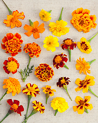 Group of mixed French marigold flowers. Tagetes patula
