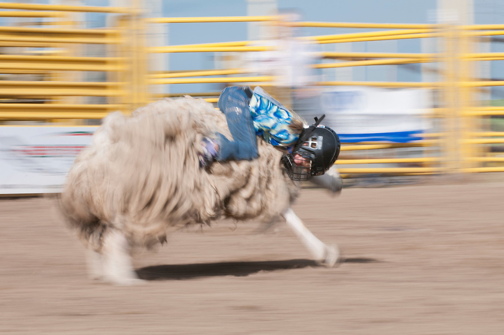 Mutton busting, Airdrie Rodeo, Airdrie, Alberta, Canada