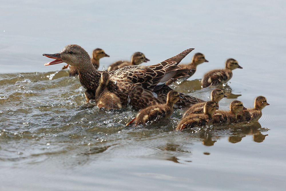 Mother mallard protecting ducklings, Westham Island, Delta, British Columbia