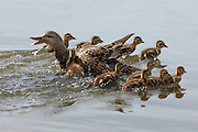 Mother mallard protecting ducklings, Westham Island, Delta, British Columbia