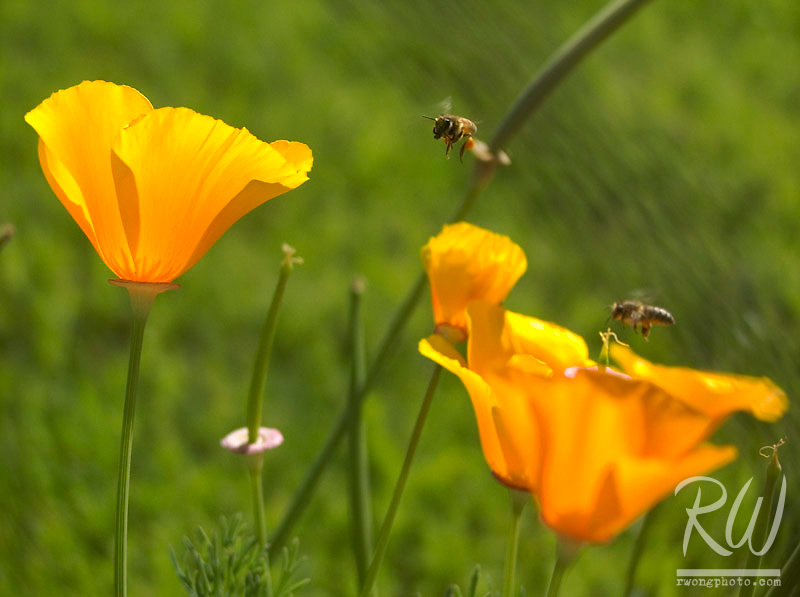 Bees Pollinating California Golden Poppies in Yard