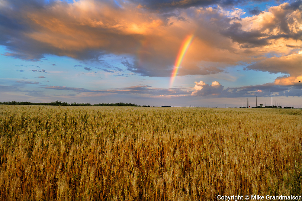 WHeat field and rainbow after storm<br />