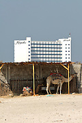 Ajman Kempinski Hotel & Resort. Camels waiting for tourists.