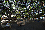 Maui, Lahaina. The giant banyan tree.