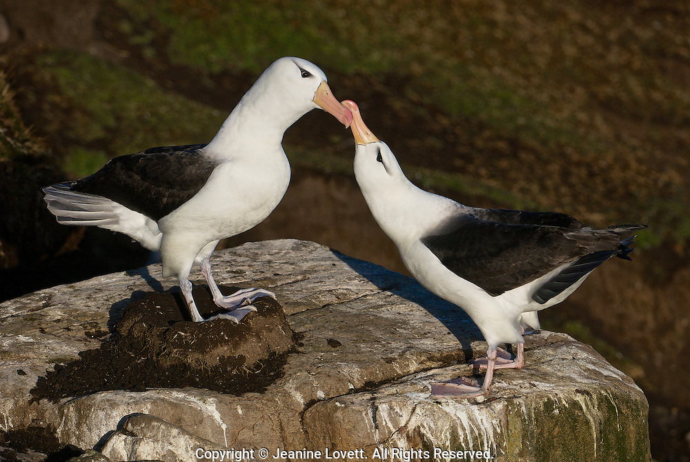 Albatross is standing on the nest while bonding with its mate.