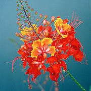 "Pride of Barbados flowers in front of a blue wall at Chuy's restaurant in Van Horn, Texas. NOTE: Click ""Shopping Cart"" icon for available sizes and prices. If a ""Purchase this image"" screen opens, click arrow on it. Doing so does not constitute making a purchase. To purchase, additional steps are required."
