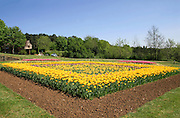 square flower bed of tulips in garden