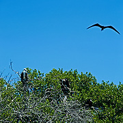 Frigate birds at Isla Contoy. Quintana Roo, Mexico.