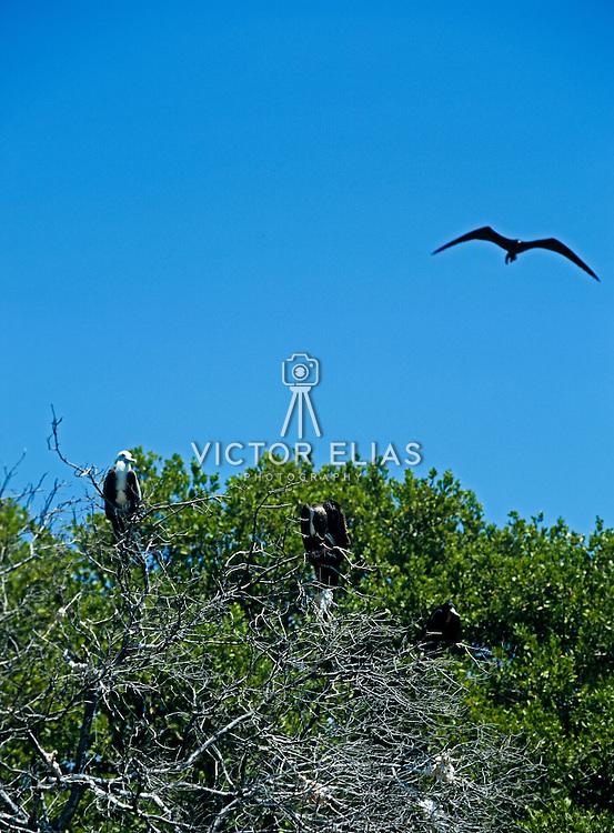 Frigate birds at Isla Contoy. Quintana Roo, Mexico.