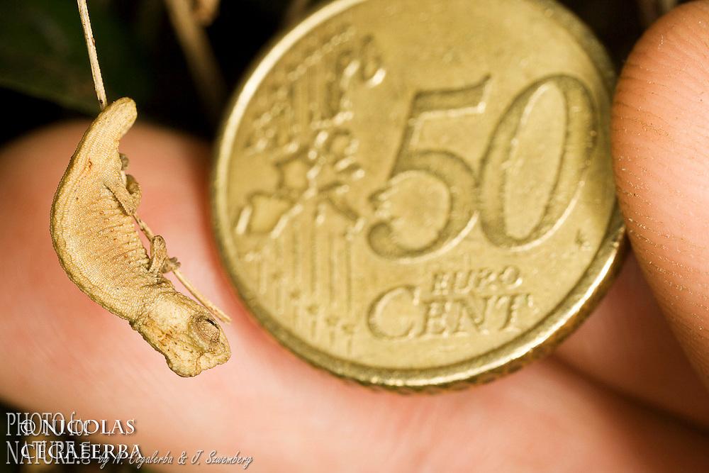 un des plus petits reptiles du monde