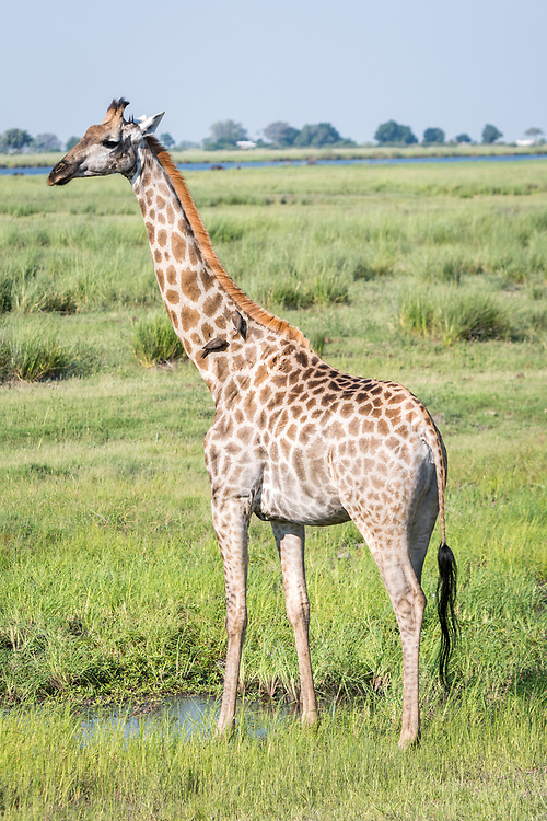 Full length view of giraffe (Giraffa) standing tall in wetlands, Chobe National Park - Botswana